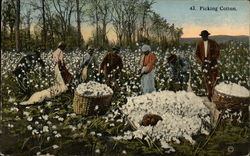 Picking Cotton with Black Field Hands