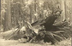 Visitors Atop A Fallen Giant Redwood