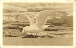 Sea Gull with Open Wings