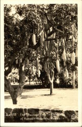 "The ""Sausage Tree"", University of Hawaii, Honolulu"
