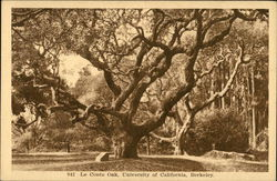 Le Conte Oak, University of California