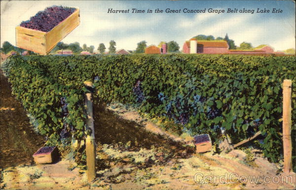 Harvest Time in the Great Concord Grape Belt along Lake Erie New York