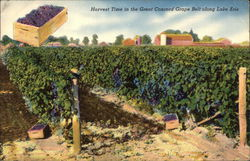Harvest Time in the Great Concord Grape Belt along Lake Erie Postcard