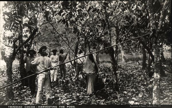 Trinidad Cocoa - Harvesting the pods. Advertising