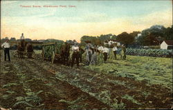 Workers and Horses in Tobacco Scene Postcard
