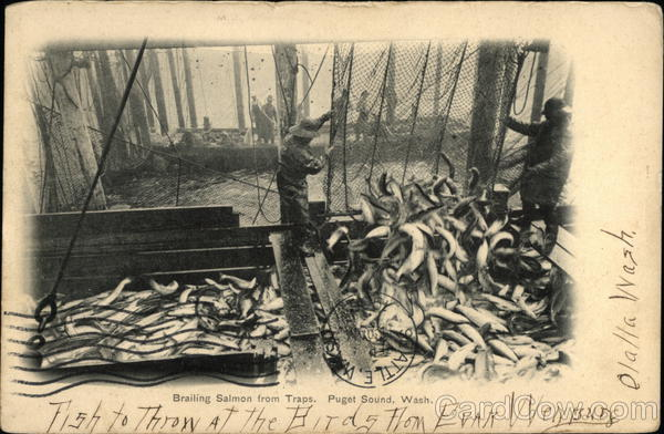 Brailing Salmon From Traps Puget Sound Washington