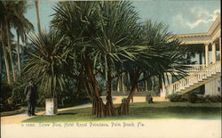 Screw Pine, Hotel Royal Poinciana