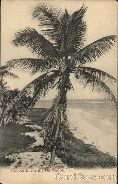 Coconut Palm Tree on the Beach Barbados Caribbean Islands