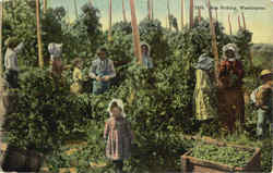 Hop Picking Postcard