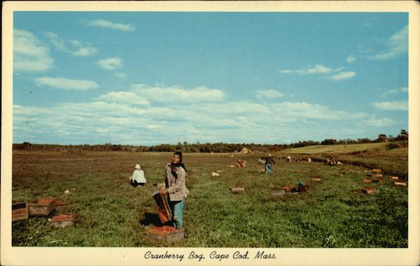 Cranberry Picking on Cape Cod Massachusetts