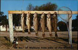 Walleyes from Lake of the Woods