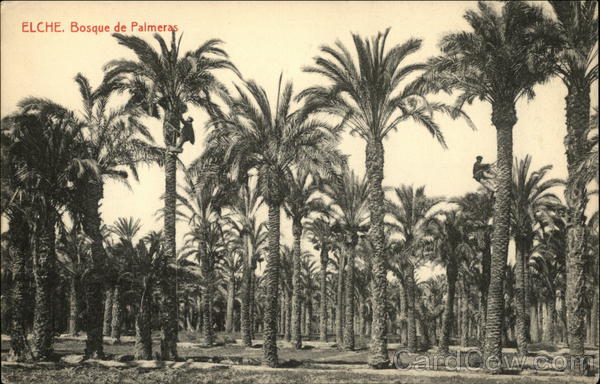 Stand of Palm Trees Elche Spain Spain, Portugal
