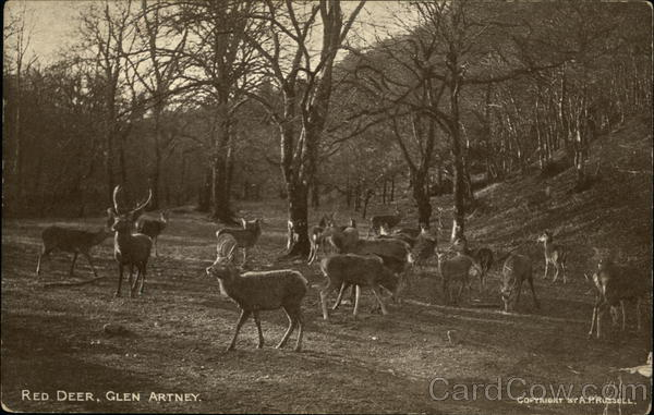 Red Deer Glen Artney Scotland