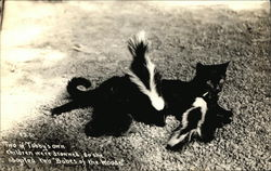 Cat, Tabby, With Two Skunks