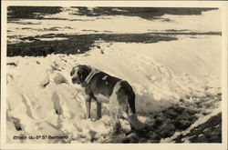 St. Bernard Dog in the Snow