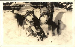 Alaskan Malamute Puppies, Chinook Kennels