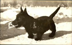 Black Scottish Terrier Dog in the Snow