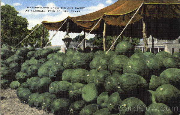 Watermelons Grow Big And Sweet, Frio County Pearsall Texas