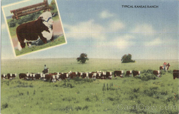 Typical Kansas Ranch Scenic Cows & Cattle