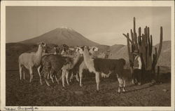 El Misti and Herd of Llamas