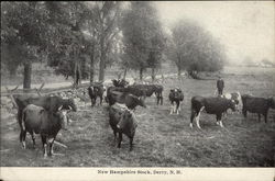 Cattle - New Hampshire Stock