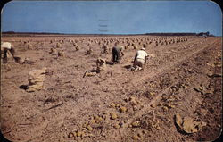 Picking Long Island Potatoes