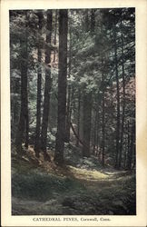 Cathedral Pines Postcard