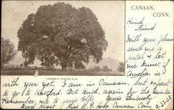 Canaan's Famous Elm