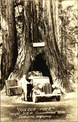 Coolidge Tree, Redwood Highway Postcard