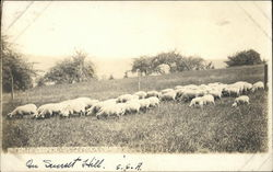 Sheep in Clover, On Sunset Hill
