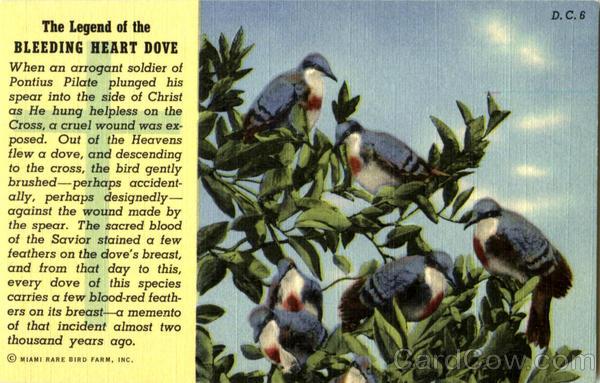 Bleeding Heart Dove For Sale Bleeding Heart Dove Birds