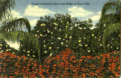 Florida Grapefruit Grove And Hedge Of Flame Vine