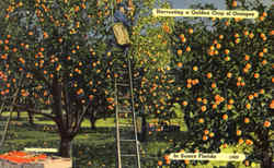 Harvesting A Golden Crop Of Oranges