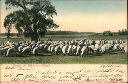 Sheep of Baldwin's Ranch