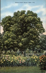 Texas Giant Pecan Tree