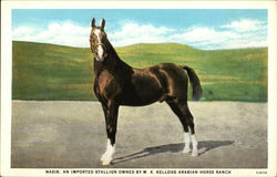 Nasik, an Imported Stallion Owned By W. K. Kellogg Arabian Horse Ranch