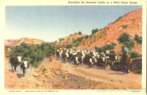 Rounding Up Hereford Cattle Cowboy Western