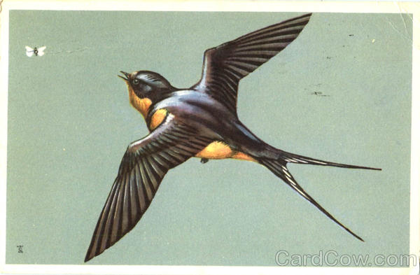 Barn Swallow Birds