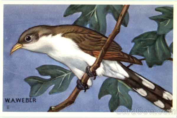 Yellow Billed Cuckoo Birds