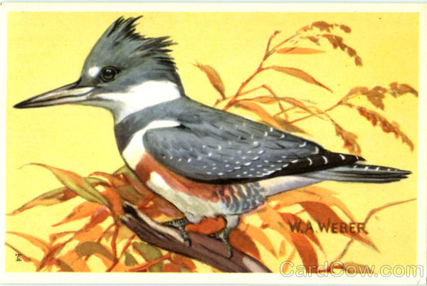 Belted Kingfisher Birds