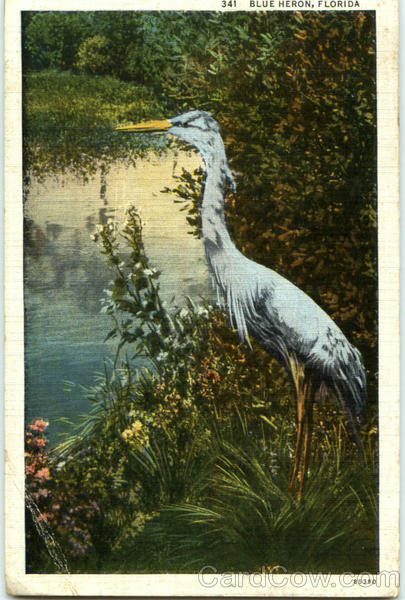 Blue Heron, Florida Birds