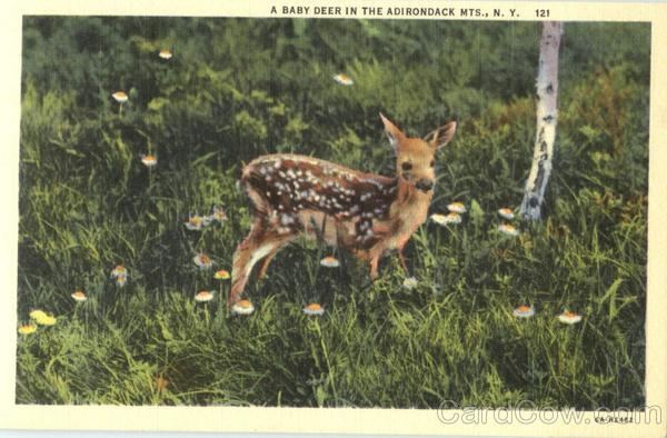 A Baby Deer In The Adirondack Mts
