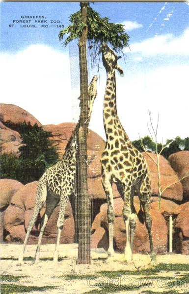 Giraffes, Forest Park Zoo St. Louis Missouri
