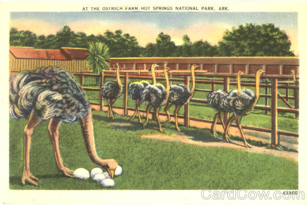 At The Ostrich Farm , Hot Springs National Park Ostriches