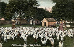 A Chicken Ranch, Flock of 1200