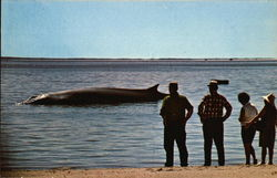 A Finback Whale Aground