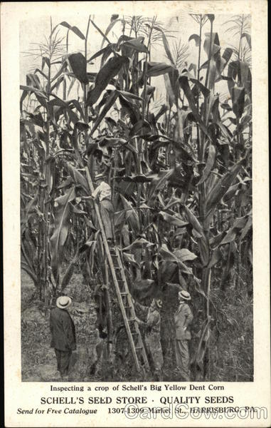 Inspecting a Crop of Schell's Big Yellow Dent Corn Harrisburg Pennsylvania