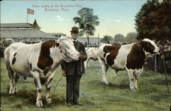Prize Cattle at the Brockton Fair