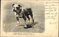 English Bulldog Champion Warrior - Greetings from Rochester Fan