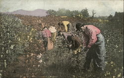 Picking Cotton In Alabama